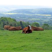 kühe haltung