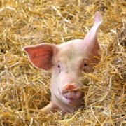 schwein haltung