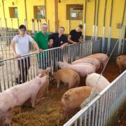 schweine haltung
